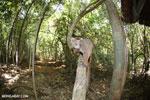 Crowned lemur (Eulemur coronatus) scavenging a campground [madagascar_ankarana_0203]