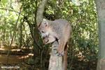 Crowned lemur (Eulemur coronatus) scavenging a campground [madagascar_ankarana_0204]