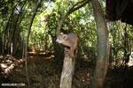 Crowned lemur (Eulemur coronatus) scavenging a campground [madagascar_ankarana_0205]