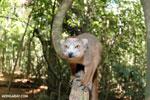 Crowned lemur (Eulemur coronatus) scavenging a campground [madagascar_ankarana_0206]