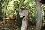 Crowned lemur (Eulemur coronatus) scavenging a campground [madagascar_ankarana_0207]