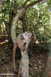 Crowned lemur (Eulemur coronatus) scavenging a campground [madagascar_ankarana_0208]