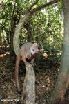 Crowned lemur (Eulemur coronatus) scavenging a campground [madagascar_ankarana_0209]