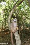Crowned lemur (Eulemur coronatus) scavenging a campground [madagascar_ankarana_0211]