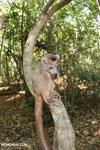 Crowned lemur (Eulemur coronatus) scavenging a campground [madagascar_ankarana_0212]