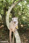 Crowned lemur (Eulemur coronatus) scavenging a campground [madagascar_ankarana_0214]