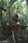 Crowned lemur (Eulemur coronatus) scavenging a campground [madagascar_ankarana_0215]