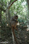 Crowned lemur (Eulemur coronatus) scavenging a campground [madagascar_ankarana_0216]