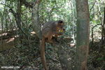 Crowned lemur (Eulemur coronatus) scavenging a campground [madagascar_ankarana_0217]