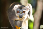 Female crowned lemur (Eulemur coronatus) [madagascar_ankarana_0220]