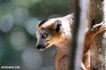 Male crowned lemur (Eulemur coronatus) [madagascar_ankarana_0226]