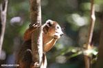 Male crowned lemur (Eulemur coronatus) [madagascar_ankarana_0227]