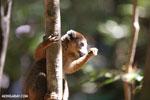 Male crowned lemur (Eulemur coronatus) [madagascar_ankarana_0228]