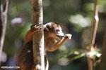 Male crowned lemur (Eulemur coronatus) [madagascar_ankarana_0229]