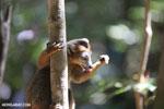Male crowned lemur (Eulemur coronatus) [madagascar_ankarana_0230]