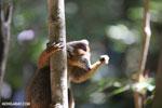 Male crowned lemur (Eulemur coronatus) [madagascar_ankarana_0231]