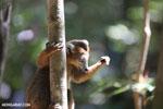 Male crowned lemur (Eulemur coronatus) [madagascar_ankarana_0232]