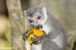 Female crowned lemur (Eulemur coronatus) [madagascar_ankarana_0234]