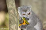 Female crowned lemur (Eulemur coronatus) [madagascar_ankarana_0235]