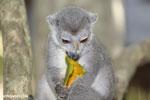 Female crowned lemur (Eulemur coronatus) [madagascar_ankarana_0237]