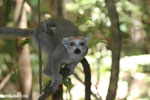 Female crowned lemur (Eulemur coronatus) [madagascar_ankarana_0239]