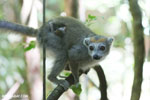 Female crowned lemur (Eulemur coronatus) [madagascar_ankarana_0240]