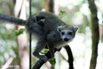 Female crowned lemur (Eulemur coronatus) [madagascar_ankarana_0241]