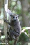 Female crowned lemur (Eulemur coronatus) [madagascar_ankarana_0242]