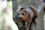 Male crowned lemur (Eulemur coronatus) [madagascar_ankarana_0243]