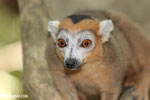 Male crowned lemur (Eulemur coronatus) [madagascar_ankarana_0244]