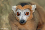 Male crowned lemur (Eulemur coronatus)