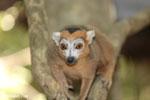 Male crowned lemur (Eulemur coronatus) [madagascar_ankarana_0247]