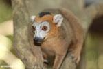 Male crowned lemur (Eulemur coronatus) [madagascar_ankarana_0248]