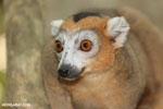 Male crowned lemur (Eulemur coronatus) [madagascar_ankarana_0249]