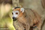 Male crowned lemur (Eulemur coronatus) [madagascar_ankarana_0250]