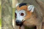 Male crowned lemur (Eulemur coronatus) [madagascar_ankarana_0251]