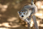 Female crowned lemur (Eulemur coronatus) [madagascar_ankarana_0253]