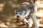 Female crowned lemur (Eulemur coronatus) [madagascar_ankarana_0254]