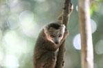 Juvenile crowned lemur (Eulemur coronatus) [madagascar_ankarana_0257]