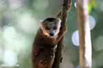 Juvenile crowned lemur (Eulemur coronatus) [madagascar_ankarana_0258]