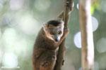 Juvenile crowned lemur (Eulemur coronatus) [madagascar_ankarana_0260]