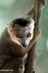 Juvenile crowned lemur (Eulemur coronatus) [madagascar_ankarana_0261]