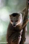 Juvenile crowned lemur (Eulemur coronatus) [madagascar_ankarana_0262]