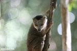 Juvenile crowned lemur (Eulemur coronatus) [madagascar_ankarana_0263]
