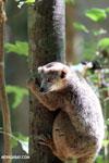 Juvenile crowned lemur (Eulemur coronatus) [madagascar_ankarana_0264]