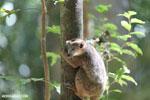 Juvenile crowned lemur (Eulemur coronatus) [madagascar_ankarana_0265]