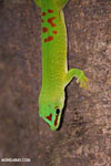 Madagascar giant day gecko (Phelsuma madagascariensis grandis) [madagascar_ankarana_0268]
