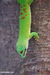 Madagascar giant day gecko (Phelsuma madagascariensis grandis) [madagascar_ankarana_0270]