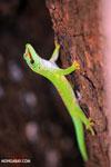 Madagascar giant day gecko (Phelsuma madagascariensis grandis) [madagascar_ankarana_0278]