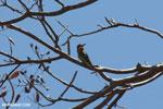 Malagasy bee-eater [madagascar_ankarana_0291]